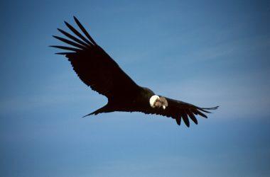 Declaran de interés nacional la conservación del cóndor andino