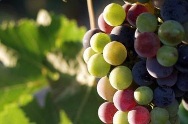 arequipa, agricultura, uvas, productores
