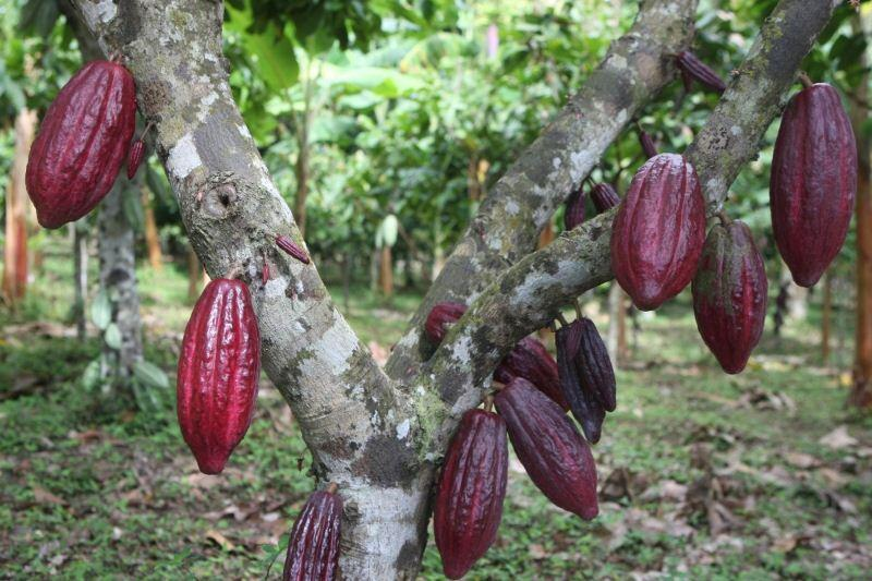 cacao, produccion de cacao, cacao peruano, produccion agricola