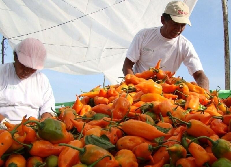lambayeque, exportaciones, ajíes, pimientos