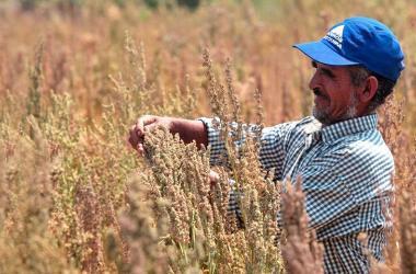 Quinua: Perú exporta US$ 38.7 millones en mayo
