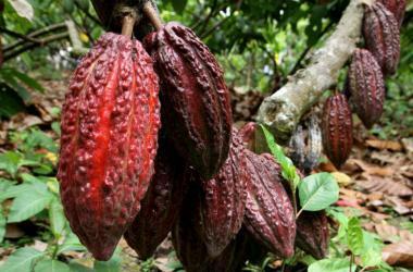 Entre los productos que destacan de la zona están el camu camu y el cacao.