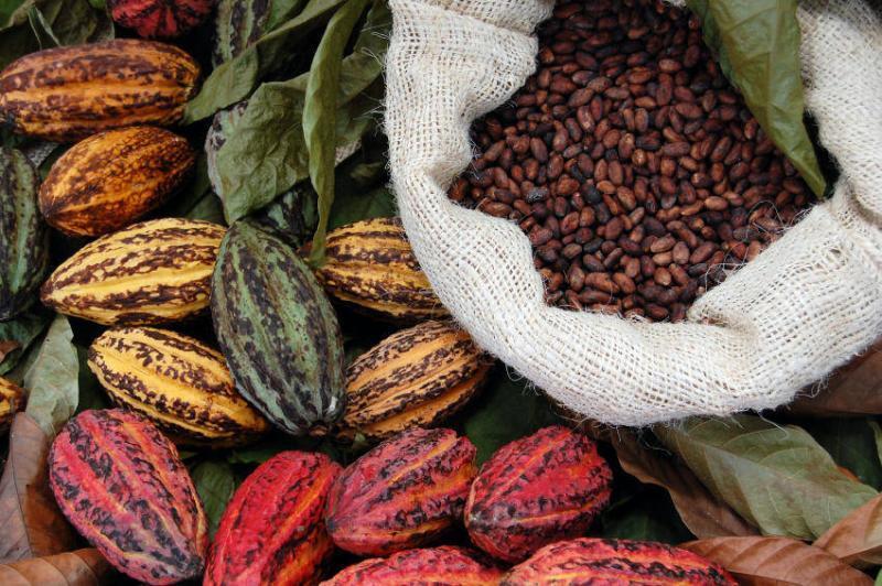 Cacao orgánico de Huánuco llega a Dinamarca