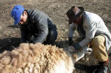 Perú provee al exterior 7,000 toneladas de fibra de alpaca al año
