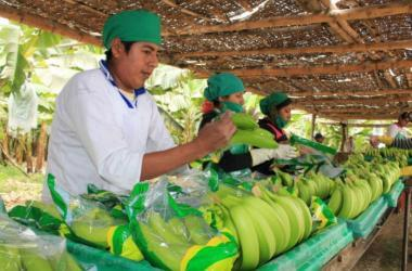 Primer embarque de banano orgánico peruano ya está en Portugal