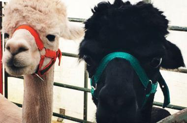 Investigadores peruanos idean biodetergente para conservar calidad de la fibra de alpaca