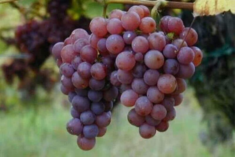 Los 10 principales productos agrícolas de exportación que tiene el Perú