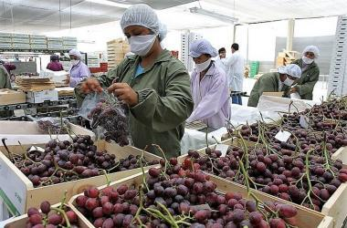 Exportación peruana de uva fresca creció 27.9% primer cuatrimestre