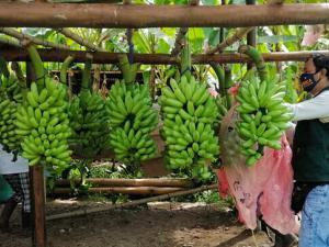 Productores peruanos de baby banano orgánico mejoran rentabilidad