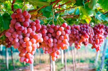 uvas peruanas exportacion