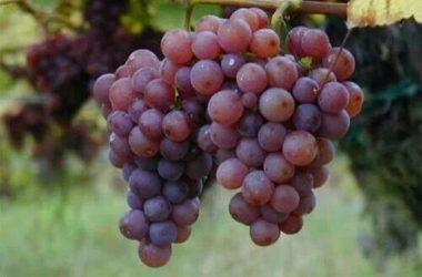 Perú se consolida como segundo exportador mundial de uva