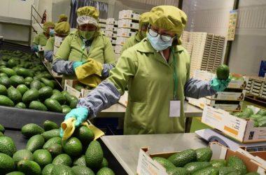 Exportaciones peruanas de palta crecieron 43.8% en primer semestre
