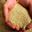 Producción de quinua en Perú creció 75.2% en junio
