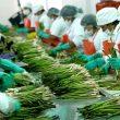 Senasa trabaja con EE. UU. para mejorar protocolo sanitario del espárrago peruano