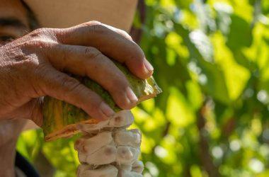 Cacao peruano: consejos para el cultivo de este producto